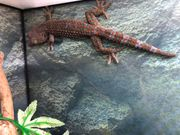 Tokeh gecko lat Gecko gecko