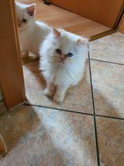 Colorpoint-Kitten