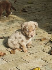 Mini Aussie Labrador Aussiedor Welpen