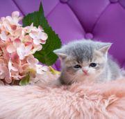 Britische Kurzhaar Kitten reinrassige 04
