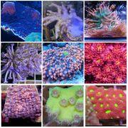 Korallen Ableger Meerwasser Aquarium Zubehör