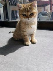 Katzen Kitten Babys wunderschöne BKH