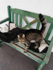 Zugelaufen junge Tigerkatze in Gaissau