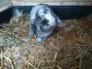 Zwerg Widder Kaninchen