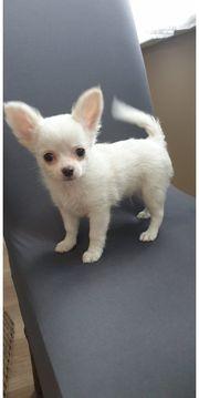 Creme Weiss Langhaar Chihuahua