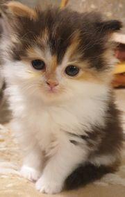 Maine Coon Perser Kitten