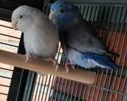 Sperlingspapageien Paar