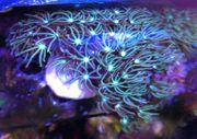 Meerwasser Korallen Orgelkoralle -Tubipora musica