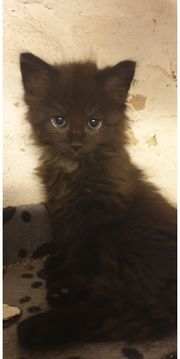BLH Main Coon mix Kitten