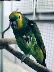 blaustirnamazonen papagei