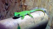 Madagaskar Taggeckos Phelsuma Grandis 0