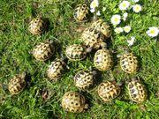 Griechische Landschildkröten THB