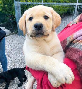 Labrador In Hamburg Hunde Kaufen Verkaufen Auf Quoka De