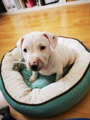 Miniatur Bullterrier x französische Bulldogge