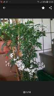 Jasminum polyanthum echter duftender jasmin