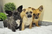 Klein bleibende Chihuahua x Spitz