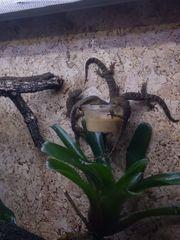 0 7 Lepidodactylus lugubris Jungferngeckos
