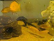 Gelbe Malawi Buntbarsche