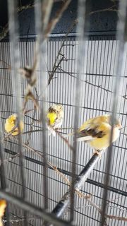 Kanarienvögel und volieren