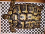 Adultes Weibchen der Griechischen Landschildkröte