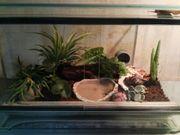 2 Achatschnecken Achatina Fulica mit