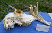 Schädel Hirschziegenantilope