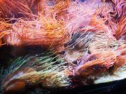 Kupferanemonen aus eigener Nachzucht abzugeben