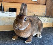 Zwergrex Pärchen Mini Kaninchen Zwerghasen