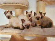Bezaubernde und superverschmuste Siamkatzenbabys