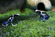 Frösche -Dendrobaten - Nachzuchten - Paare