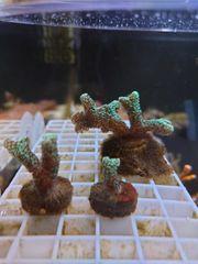 Korallenableger verschiedenen Arten