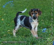 Verspielte Beagle x Spitz Welpen