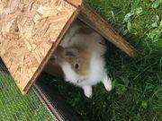 Kaninchen Löwenkopf
