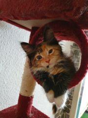 Süße Maine Coon Kitten Weibchen