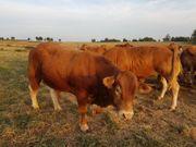 Verkaufe reinrassiger Limousin-Zuchtbulle