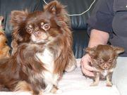 Chihuahua Rüde steht ihrer Hündin