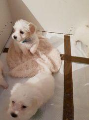Malteser In Stralsund Hunde Kaufen Verkaufen Auf Quoka De