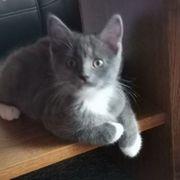 Bkh Mainecoon Kitten