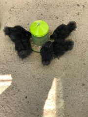 große Seidenhühner mit Bart - Küken