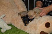 herzallerliebste reinrassige Chihuahua Welpen Rüden