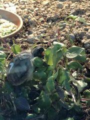 Nur noch wenige Griechische Schildkröten