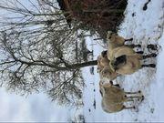 Wolle von glücklichen Schafen Stricken
