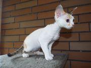Devon Rex Kitten Arielle sucht