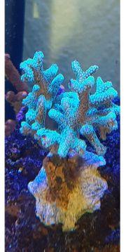 Seriatopora Caliendrum Korallen Ableger