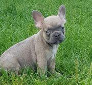 Traumhafte Französische Bulldoggen Welpen Blue