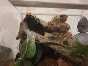 Vogelspinne mit Terrarium zu verkaufen