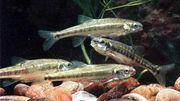 Verkaufe Teichfische Elritzen 7-10 cm