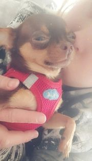 teacup Chihuahua 2 Jahre alt