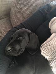 Labrador Welpen 14 Wochen weiblich