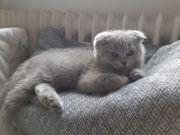 Scottish Fold Kitten Sofort abholen